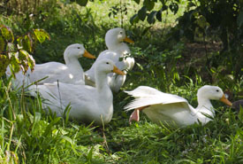 Landmatters ducks