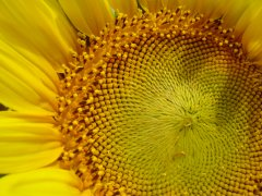 Fibonacci patterns in a sunflower