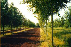 Silvoarable agroforestry